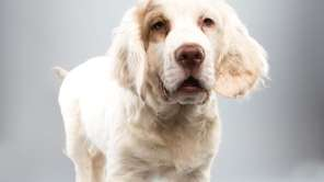 Falcor, 141?2-week-old Clumber spaniel: Falcor has a crush