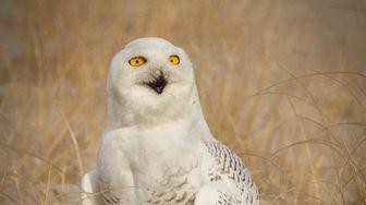 Snowy owls migrate in the winter to Jones