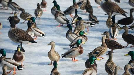 Ducks and geese walk on a frozen pond,