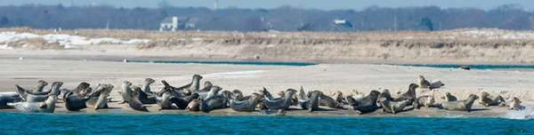 A pod of harbor seals enjoy the 50-degree
