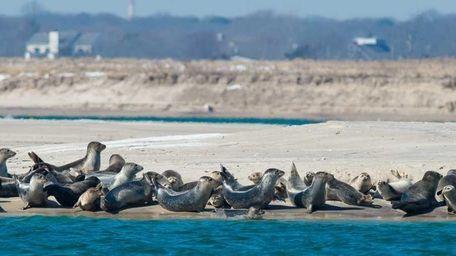 A pod of harbor seals enjoy the 50-degree