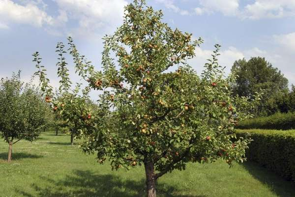 An apple tree in an orchard.