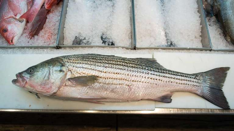 A whole striped bass at Marine Fisheries in