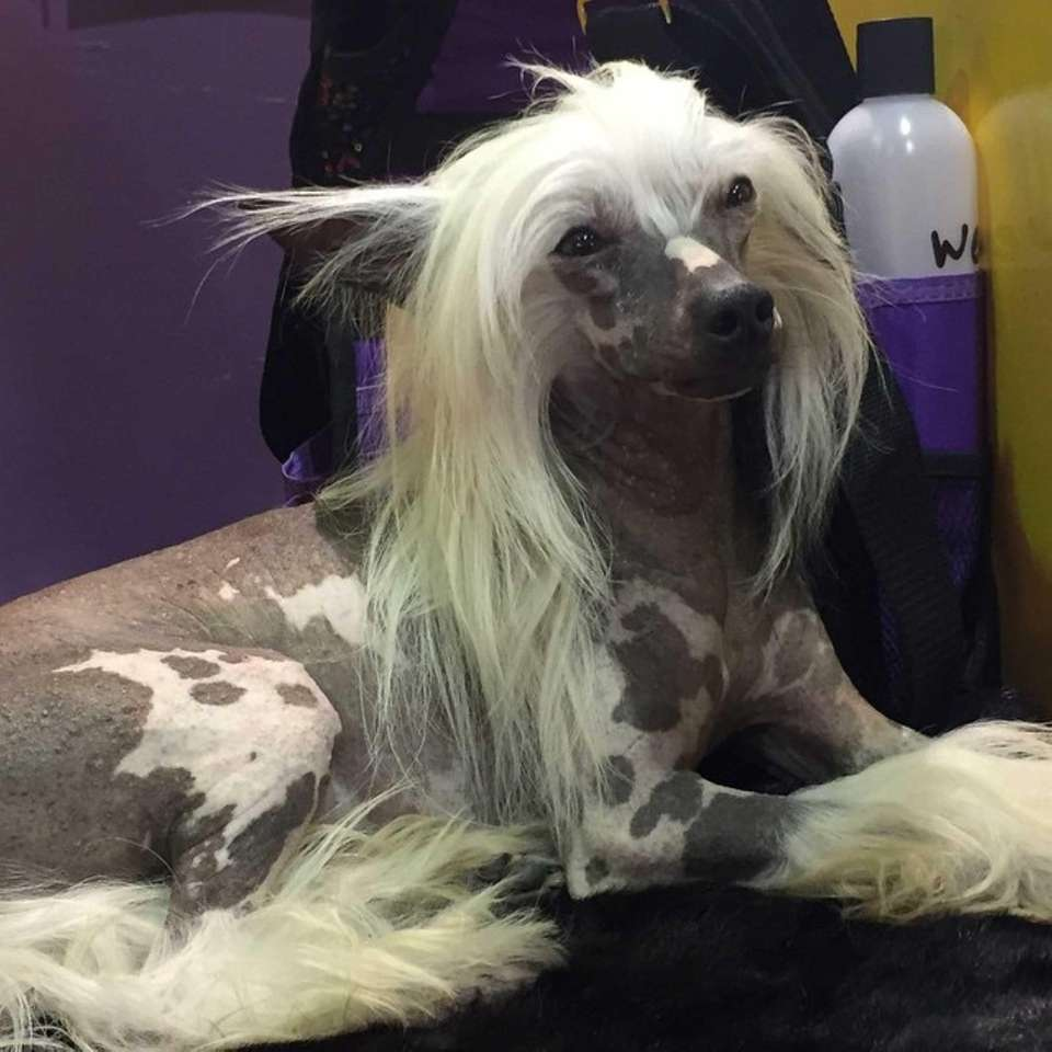 Most of the body of the Chinese crested