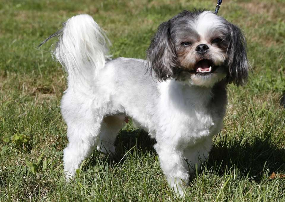 The Shih Tzu has a long coat that
