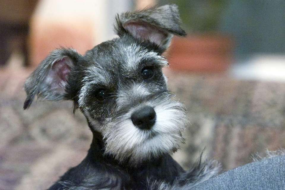The miniature schnauzer has a short, close undercoat