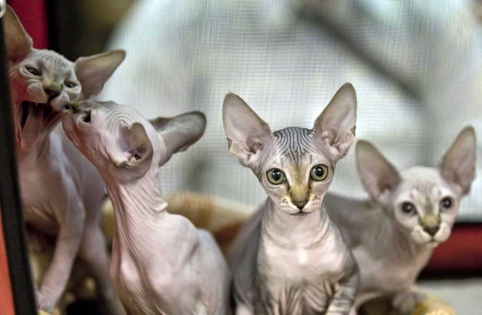 The hairless sphynx won't shed or carry allergens.