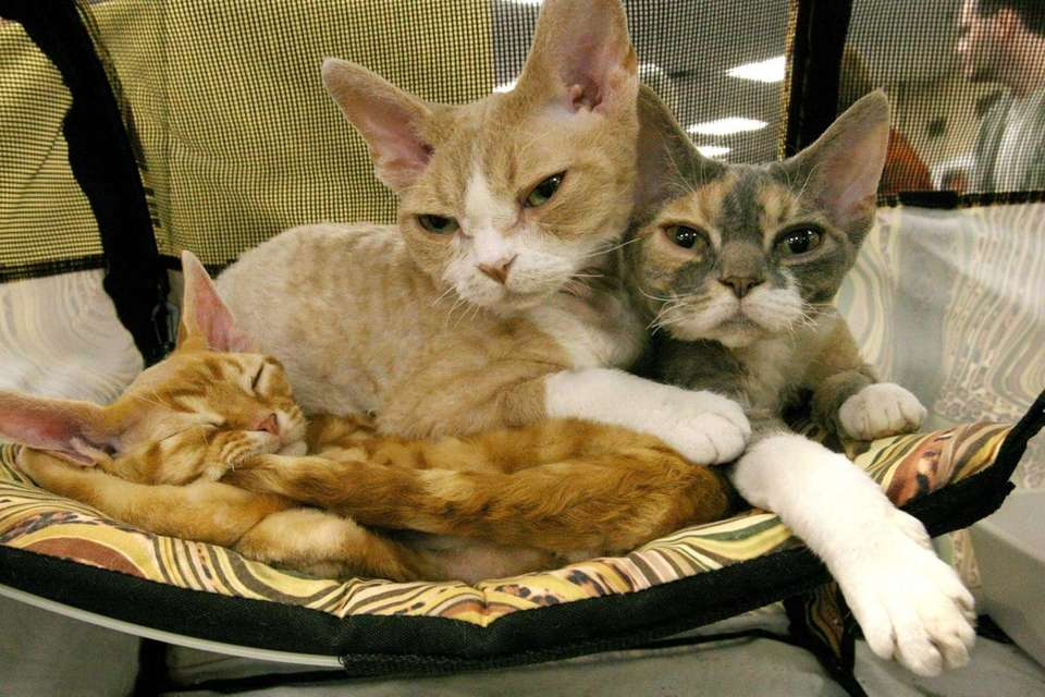 The short-haired Devon Rex is known for being