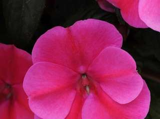 Mildew-resistant ?Bounce? impatiens thrive in sun or shade.