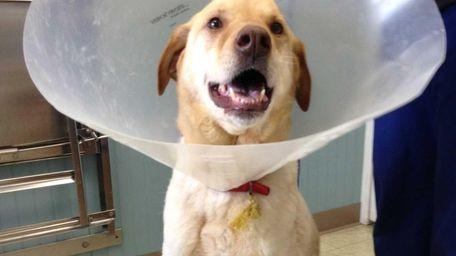 Teddy, 9, a Labrador mix, was found on
