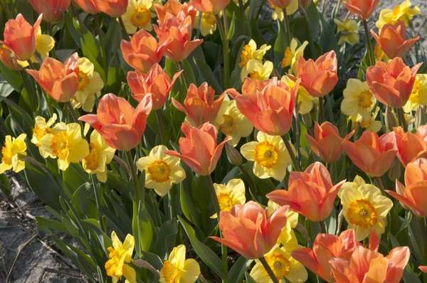 Tulips and daffodils create a cheerful spring scene.