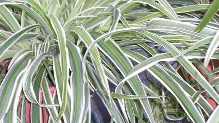 Spider plants infested with scale should be treated
