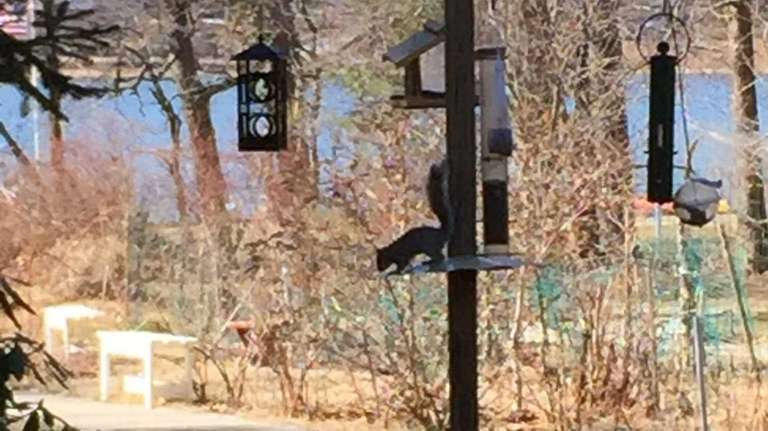 A squirrel is undeterred from rousting about the