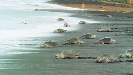 Olive Ridley turtles struggle across the sands on