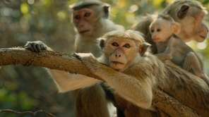 """Monkey Kingdom,"" a true-life adventure from Disneynature that"