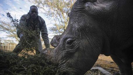 A rhino caretaker feeds Sudan, the last remaining