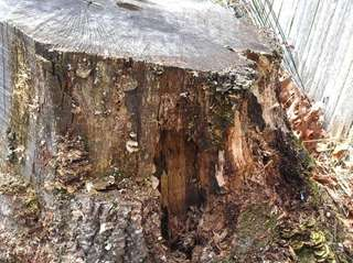 A many-zoned polypore (Coriolus versicolor) fungus on a