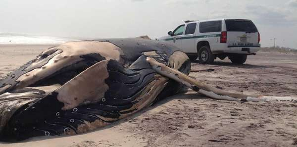 A dead humpback whale washed up Tuesday afternoon,