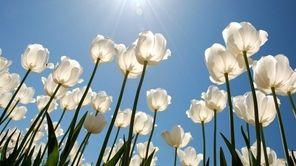 An organic tulip festival comes to Garden of