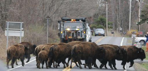 A herd of buffalo cross a road, Friday,