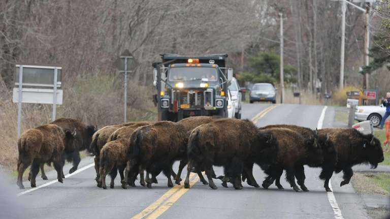 A herd of buffalo cross a road, Friday,