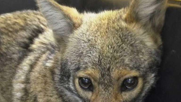A female coyote led police on a chase