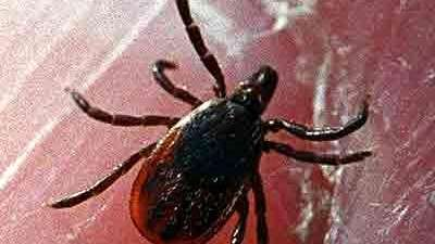 A tick is shown in this undated photo.
