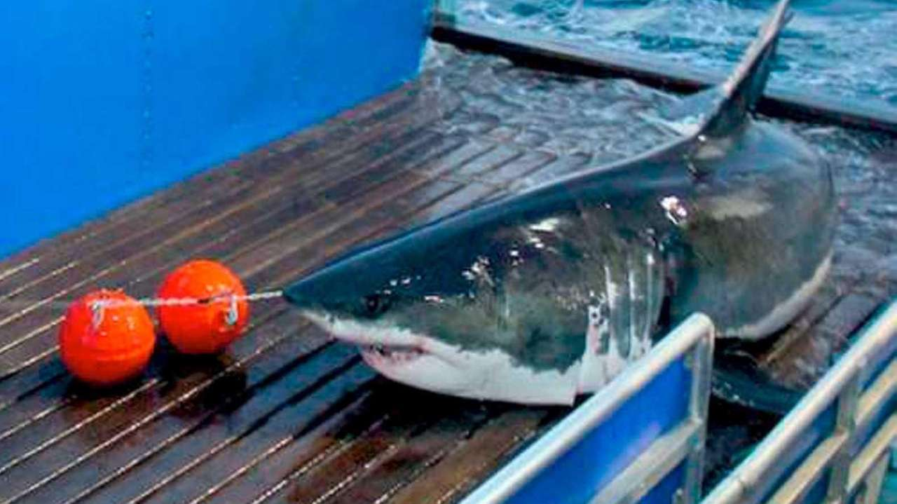 Great white shark Mary Lee was tagged by