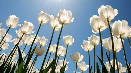 The tulip festival at Garden of Eve Organic