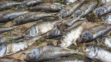 Thousands of dead bunker fish cover the shore