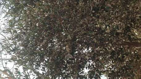 Reader Lisa Buchler's holly trees, which appear to
