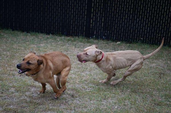 Fawn, a pit bull, and Eli, a husky-jindo