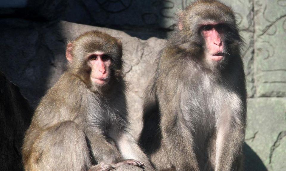 The Long Island Aquarium's Japanese snow monkeys are