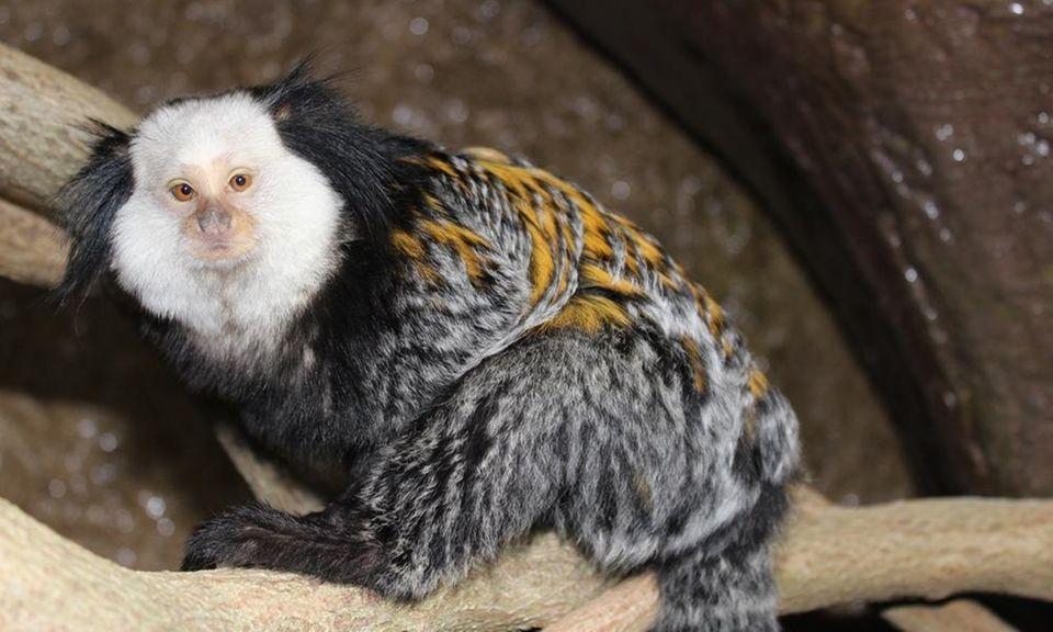The three Geoffroy's marmosets, tiny monkeys that live