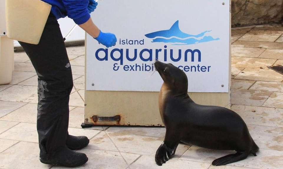 Nila, the aquarium's new sea lion, was rescued