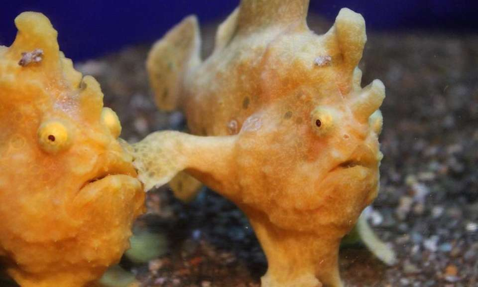 The Long Island Aquarium has some frogfish on