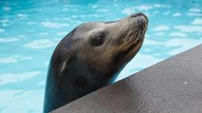 Java, a 340-pound sea lion, gets ready to