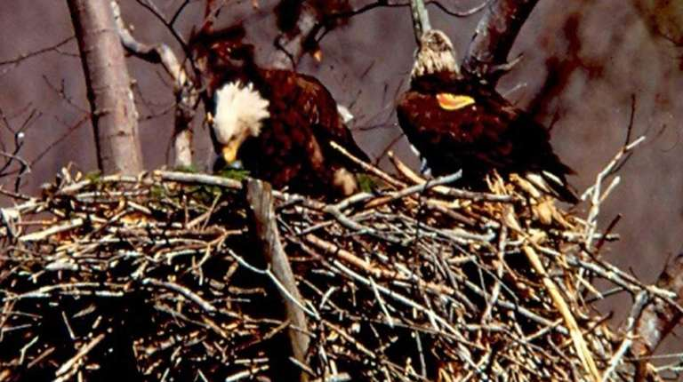 A banded, bald eagle found dead on Tuesday,