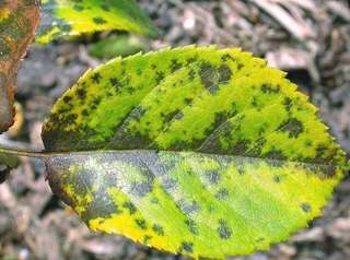 Black spot is a fungal disease that can