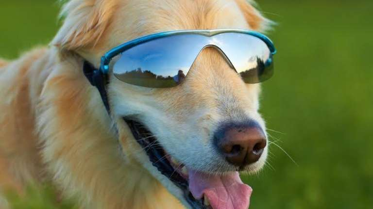 A golden retriever keeps his eyes protected in