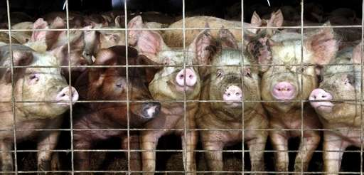 A group of young pigs in a pen