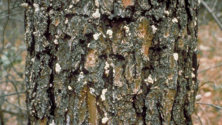 Southern pine beetle - Dendroctonus frontalis