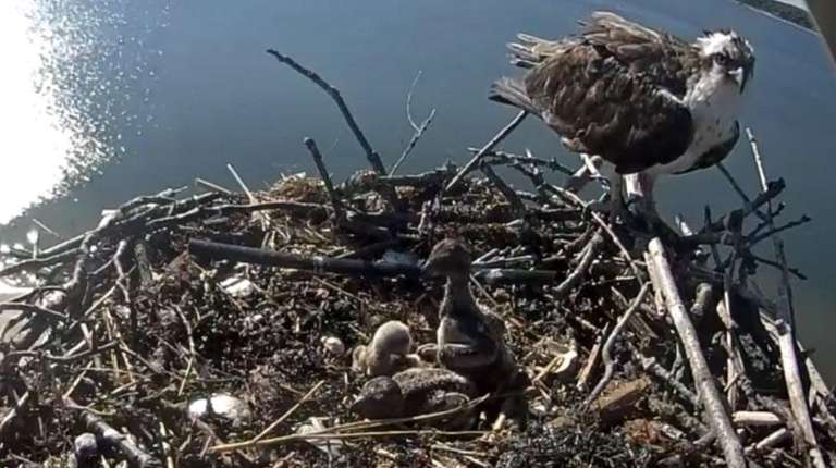Osprey, 85 feet high in East Marion, are