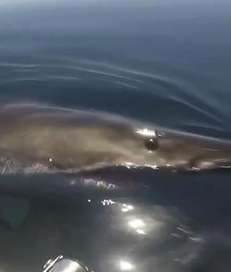A great white shark swam up to Long