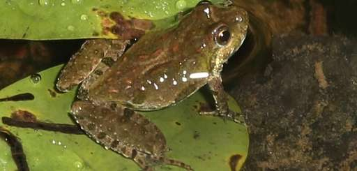 A Northern Cricket Frog sits on a lily
