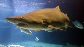 A shark swims in a tank at the