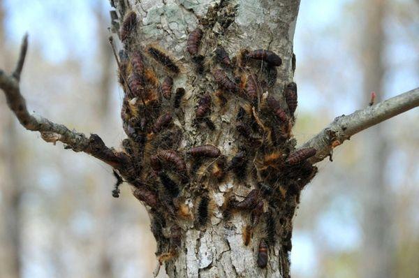 Gypsy moth caterpillars, seen on the bark of