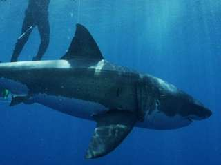 Shark Week returns to the Discovery Channel with