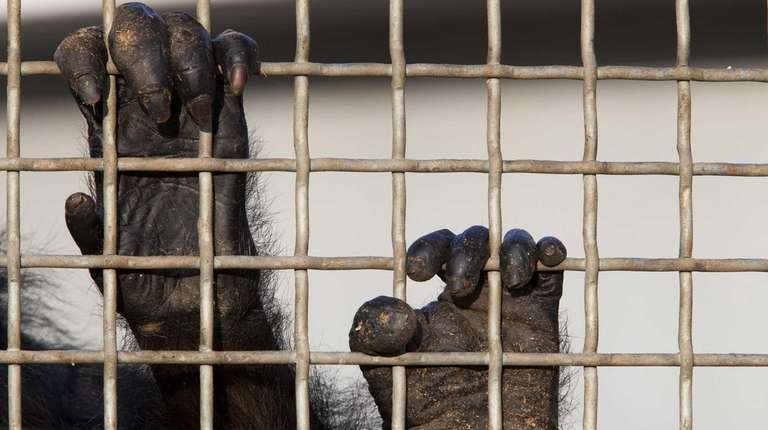 A retired lab chimp hangs onto one of