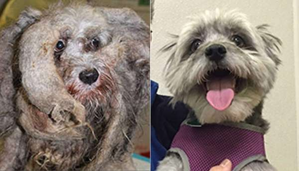 Zara, a female schnauzer mix, was neglected by